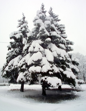 Snow-covered fir trees in winter forest, near fallen tree