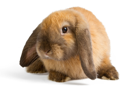 Baby of orange rabbit isolated on white background