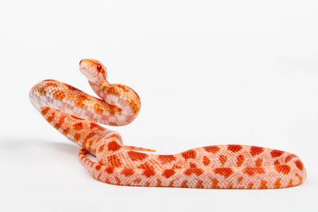 snake.elaphe guttata.young boa constrictor on a white background. photo
