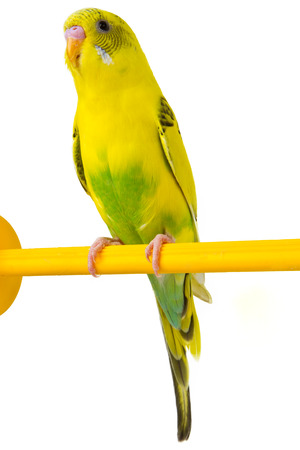 beautiful yellow budgie sitting on a yellow horizontal bar isolated on white background