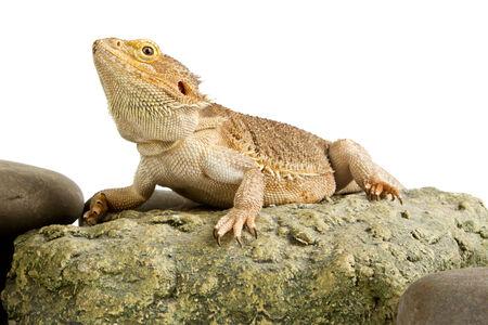 bearded dragon lizard: Bearded Dragon. lizard  Stock Photo