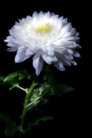 white chrysanthemum on a black background big beautiful flower