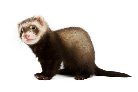 Ferret sitting and looking away in front of white background photo