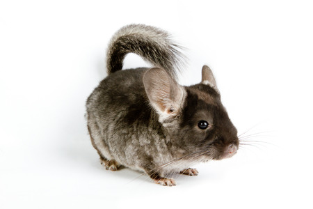 Silver Chinchilla sitting on isolated white background Stock Photo