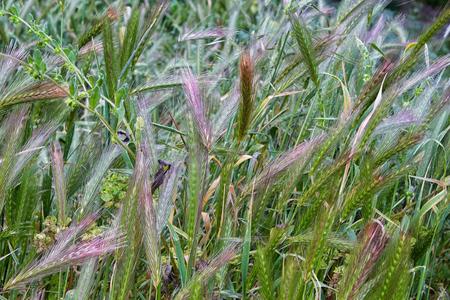 glistening: Green Grass Morning Dew shows light shining down on the glistening blades of grass.