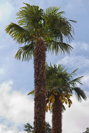 Two palm trees against a clear blue sky photo