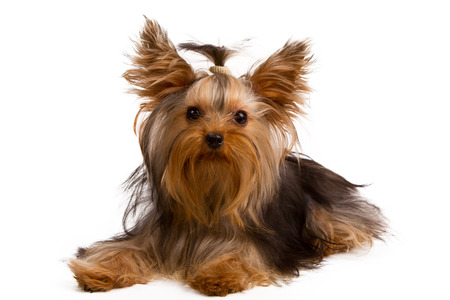 Yorkshire Terrier: Yorkshire terrier looking at the camera in a head shot, against a white background