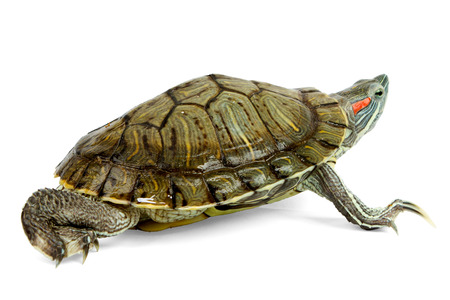 Funny green turtle on parade or walking around isolated on a white background photo
