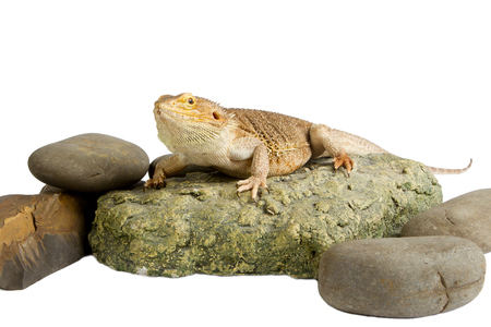 frilled: Bearded Dragon on white background