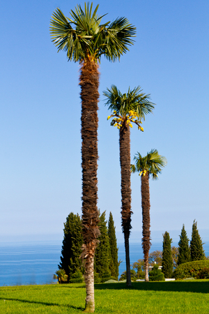 three palm trees: three palm trees against a clear blue sky