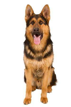 German Shepherd lying in front, isolated on white background, studio shot. Standard-Bild