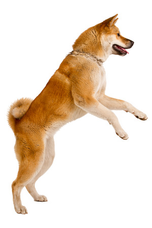 Akita Inu sitting and panting, isolated on white
