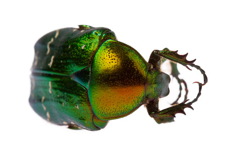Rose chafer (cetonia aurata) isolated on white background photo
