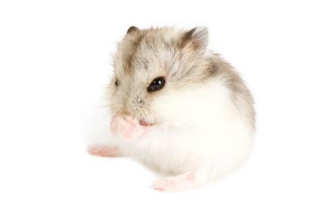 hamsters: Djungarian Hamster (Phodopus sungorus) baby isolated on white Stock Photo