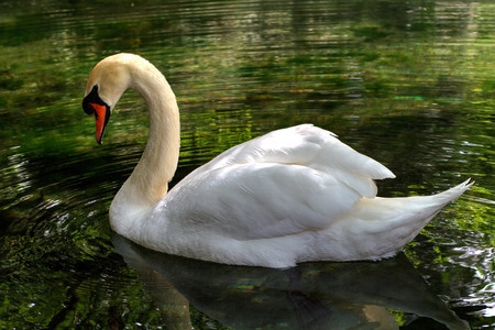 white swan floating on clear water photo