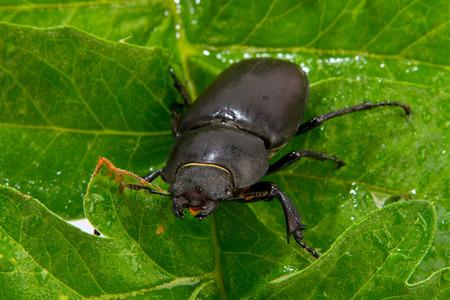 entomological: Closeup of common stag beetle female (Lucanus cervus) sitting on oak leaf
