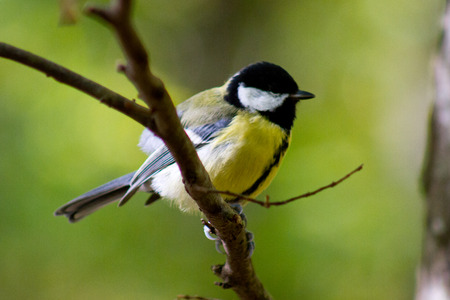 titmouse sitting on a tree branch closeup A colorful tit hooked to a plant photo
