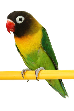 a beautiful green parrot lovebird isolated on white background photo