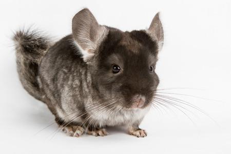 Silver Chinchilla sitting on isolated white background photo