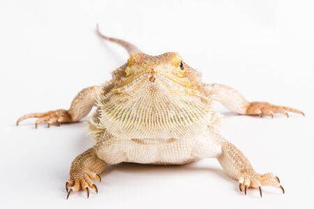 frilled: Bearded Dragon on white background. lizard isolated on white background