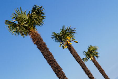 palm trees against a clear blue sky photo
