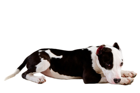 cropped shots: american staffordshire terrier dog Staffordshire bull terrier sitting in front of white background