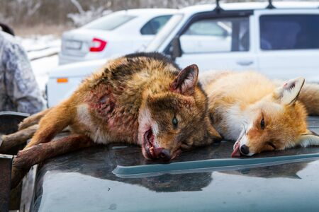 cull: Dead foxes after the hunt in the woods on a car hood