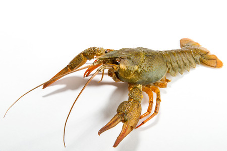 lobster isolated: Crayfish on a white background. Crayfish isolated on white