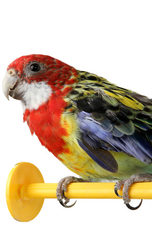 a beautiful large colorful parrot isolated on white background photo