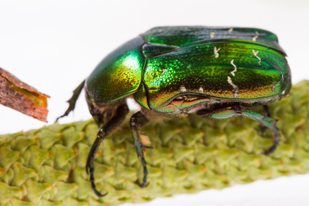 aurata: Rose chafer crawling on a branch (Cetonia aurata) on a white background