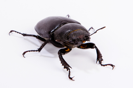 lucanus: Female Stag Beetle isolated on white. Closeup of common stag beetle female (Lucanus cervus) sits on a white background