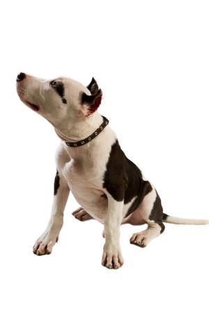bull terrier: american staffordshire terrier dog Staffordshire bull terrier sitting in front of white background