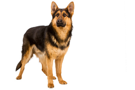 German Shepherd lying in front, isolated on white background, studio shot. Stock Photo