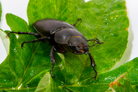 lucanus: Closeup of common stag beetle female (Lucanus cervus) sitting on oak leaf