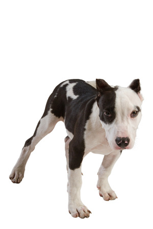 black out: american staffordshire terrier dog Staffordshire bull terrier sitting in front of white background