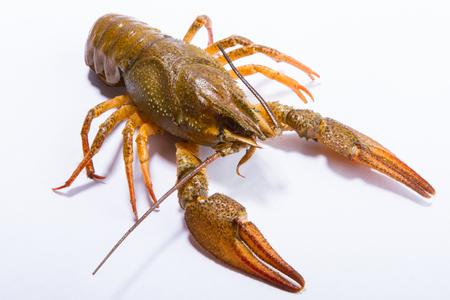 fluvial: Crayfish on a white background. Crayfish isolated on white