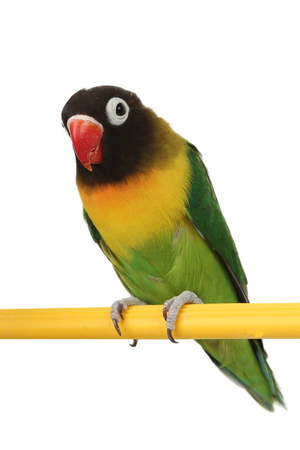 a beautiful green parrot lovebird isolated on white background Stock Photo