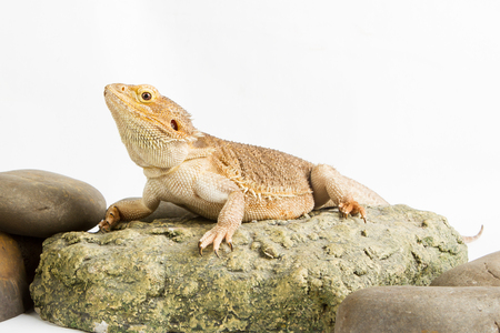 a frill: Bearded Dragon on white background. lizard isolated on white background