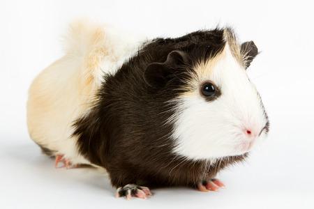 cavie: Cavia piccolo animale domestico roditore. cavia isolato su sfondo bianco