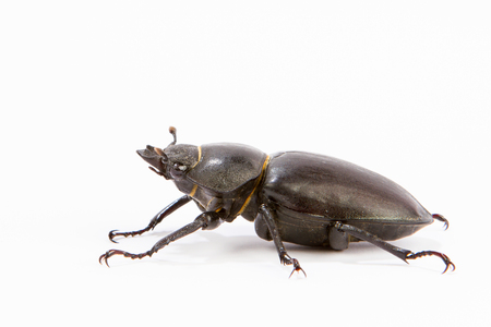 chitin: Female Stag Beetle isolated on white. Closeup of common stag beetle female (Lucanus cervus) sits on a white background