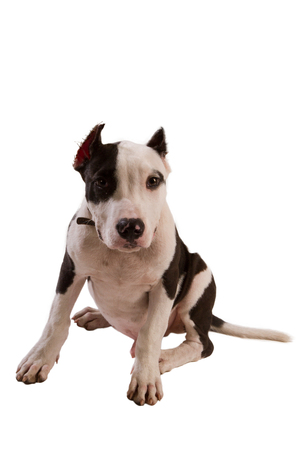 black and white pit bull: american staffordshire terrier dog Staffordshire bull terrier sitting in front of white background