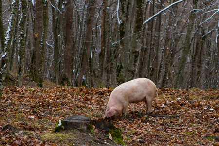 Pig in a mountain forest  pigs in snow forest near farm Foto de archivo