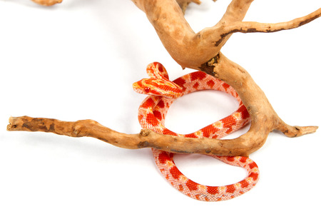 snake. elaphe guttata. young boa constrictor on a white background.