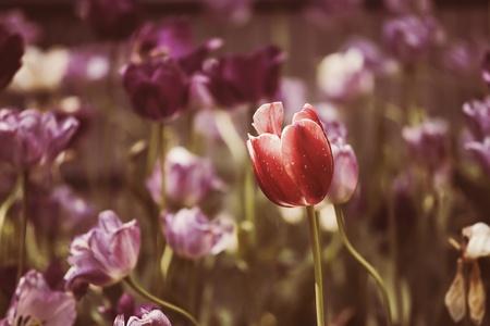 Tulipes Printemps Fleurs Parc Fleurs De Jardin, Arôme, Mai Banque D ...