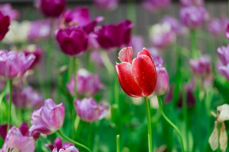tulipan: Tulips Spring flowers park garden
