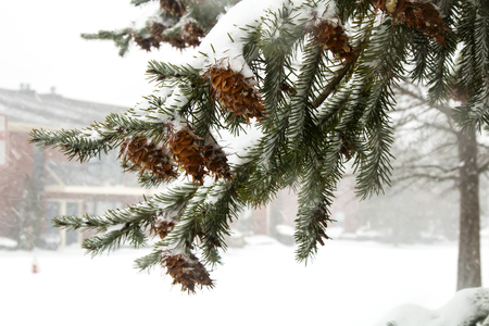 arborvitae: first snow pine cones xmas arborvitae beautiful bells bright