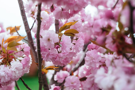 manhatan: Beautiful flower cherry Blossom or sakura, Sakura Flower or Cherry Blossom With Beautiful Nature Background, cherry blossom in spring time Stock Photo