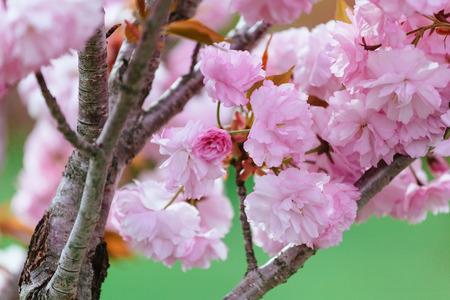 Beautiful flower cherry Blossom or sakura, Sakura Flower or Cherry Blossom With Beautiful Nature Background, cherry blossom in spring time Stock Photo