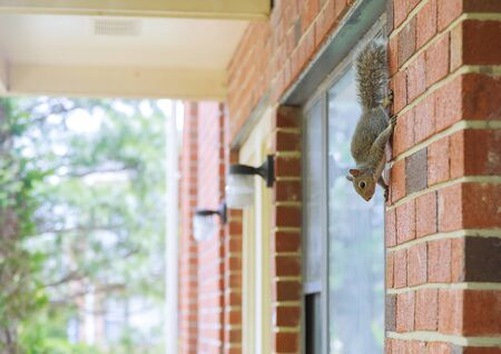 Vertical panning of gray squirrel climbs the wall of the building - view from the window.