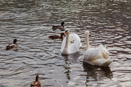 twee: Family of white swans swimming in the beautiful pond Stock Photo